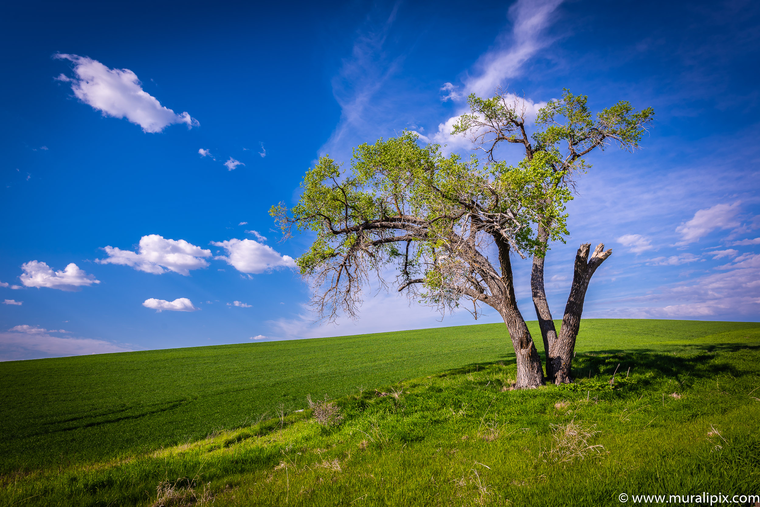 Palouse Lonely Tree 02