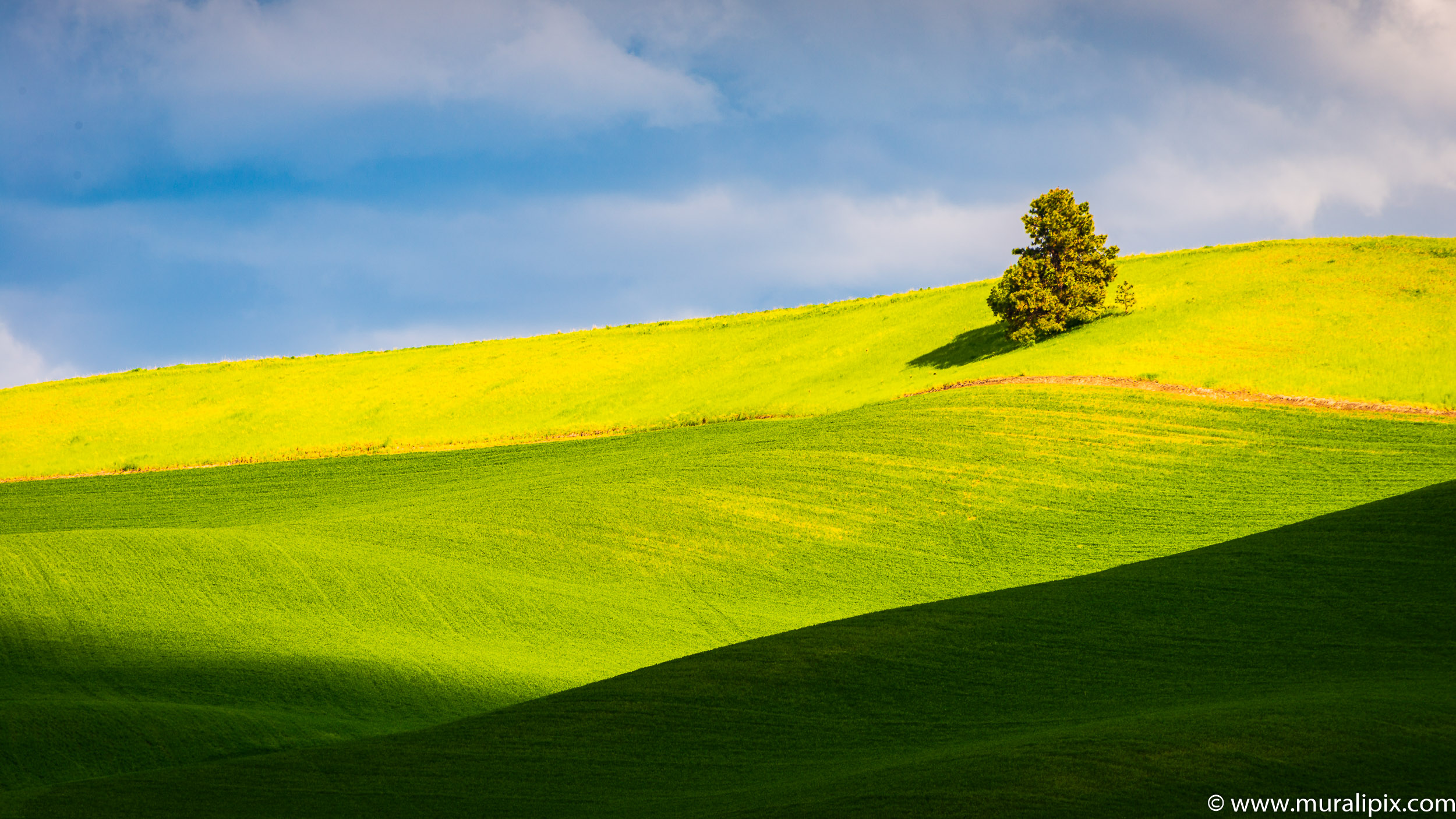 Palouse Lonely Tree 03
