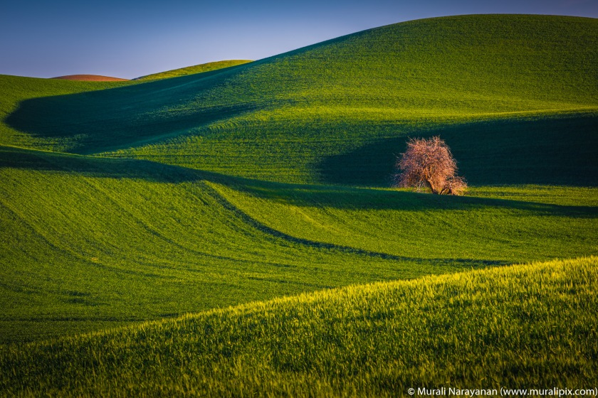 Palouse Lonely Tree 04.jpg